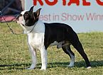 Image For Boston Terrier Breeders Australia Dogz Online