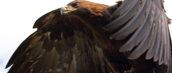 Captive Golden Eagle (Aquila chrysaetos) in flight in the United Kingdom