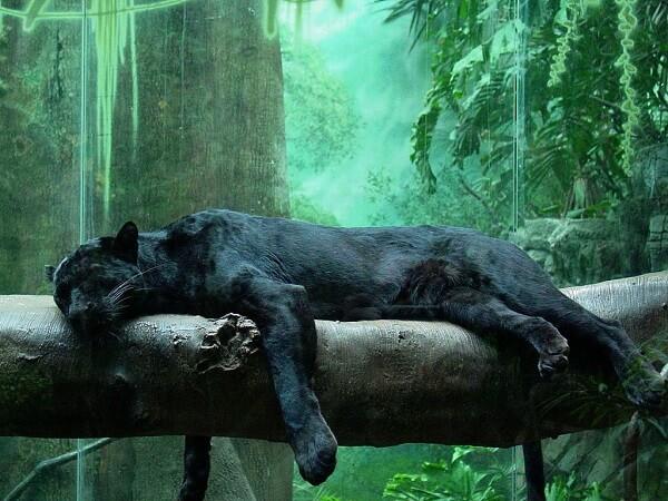 Black Panther Animal Wallpaper Donde Viven Las Panteras Que Comen Como Nacen
