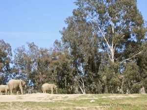 3elephants-eucalyptus