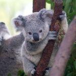 K is for Koalas