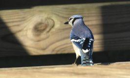 Blue jay at Fort Washington State Park