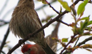 house finch4