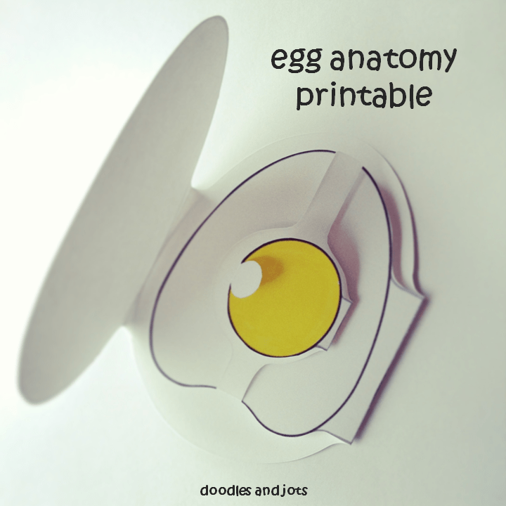 Egg Anatomy Printable | Doodles and Jots