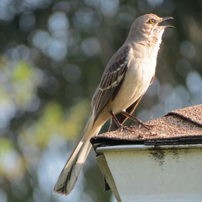 florida mockingbird2