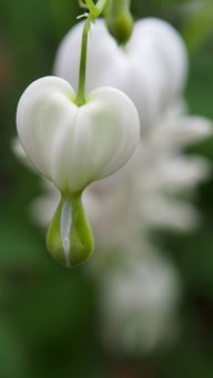 White bleeding heart.