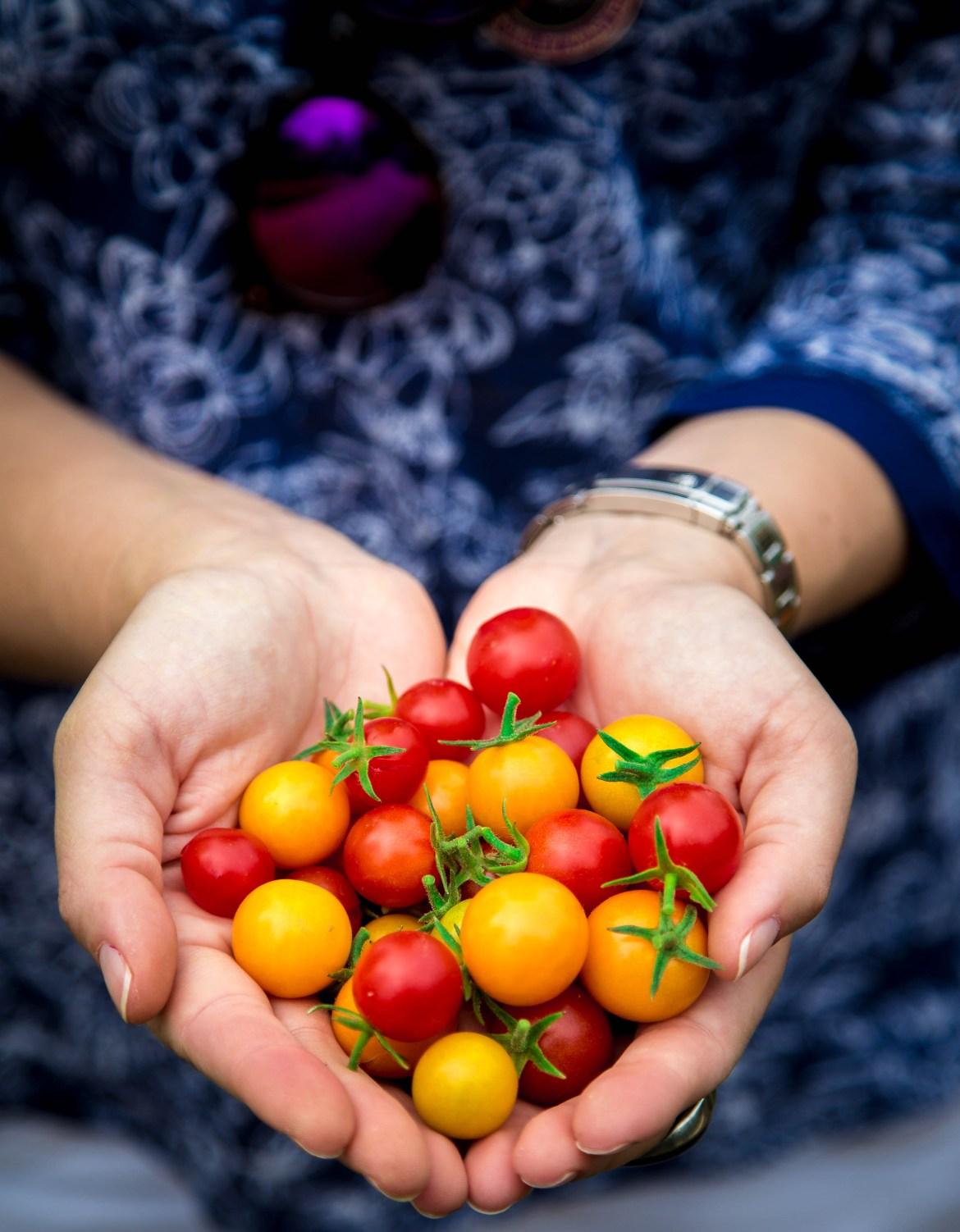 Tomates colhidos na Vinícola Raymond