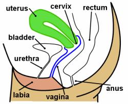 Uterus yazan bölüm ise bebeğin büyüdüğü kısımdır. Hamilelik ...