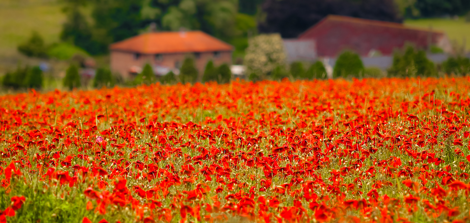 A Field of poppies, Alkham, Kent.