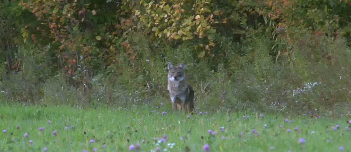 coyote hunting video