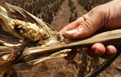Cultivos de maíz dañados por la sequía. Foto D1: Cortesía