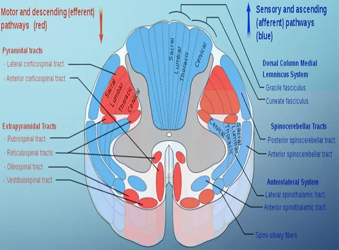 Receptors, Brainstem Pathways And Spinal Cord Tracts Part II