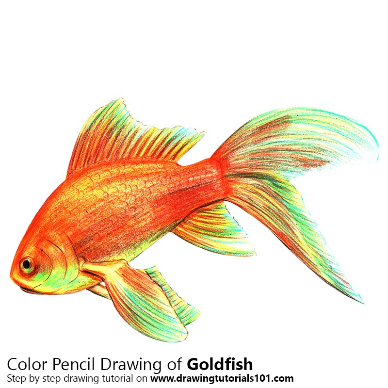 Gold Fish Colored Pencils - Drawing Gold Fish with Color Pencils