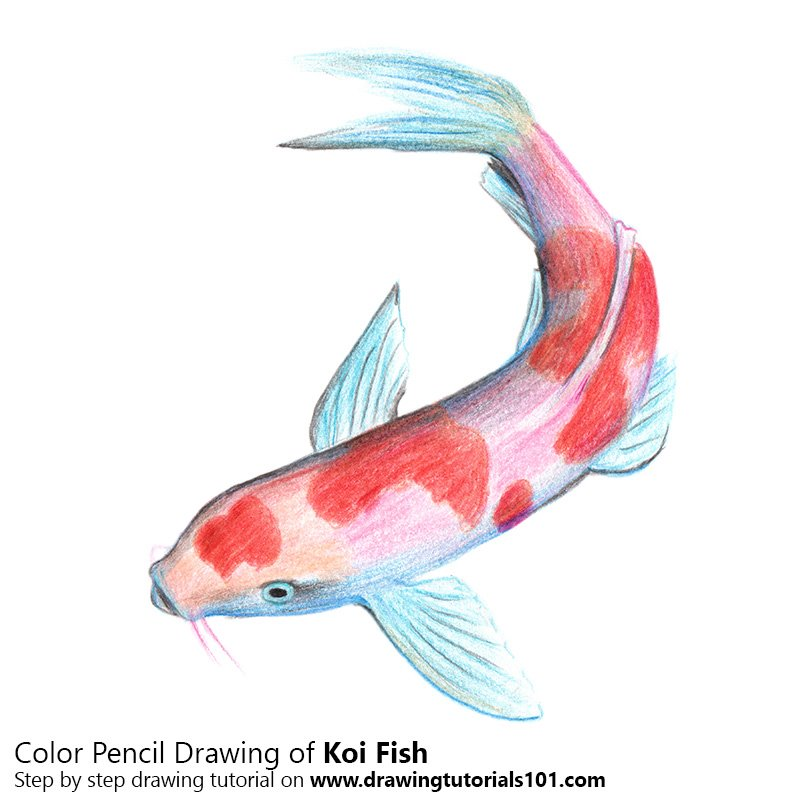 Koi Fish Colored Pencils - Drawing Koi Fish with Color Pencils