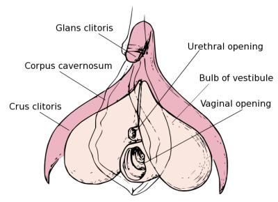 clitoral anatomy