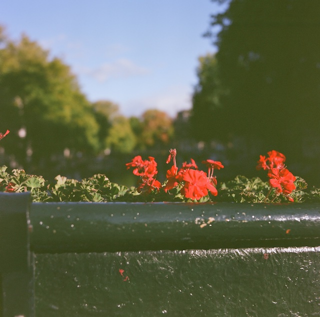 An analog image of flower on a nice sunny day in Amsterdam , Shot with an Hasselblad 530CW Camera