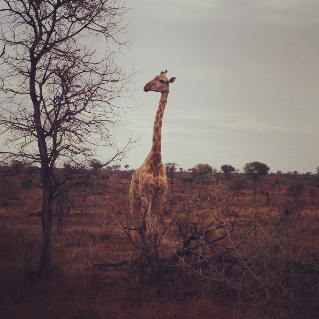 Kruger National Park Giraffe