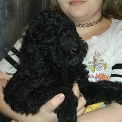 Multigen Labradoodle Solid Black Male