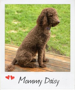 Small Standard Parti Poodle Daisy