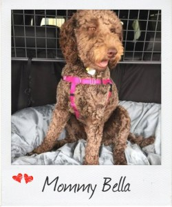 Multigeneration Labradoodle Miss Bella