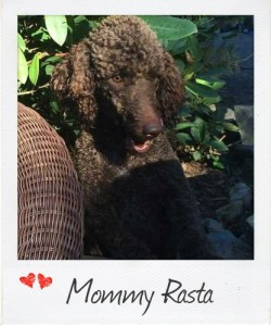 Small Standard Poodle Rasta