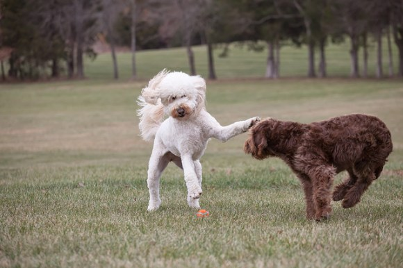 Macie (goldendoodle) and Dillon (labradoodle)