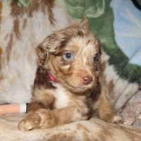 Pink Collar Female 5 wks Mini Aussiedoodle