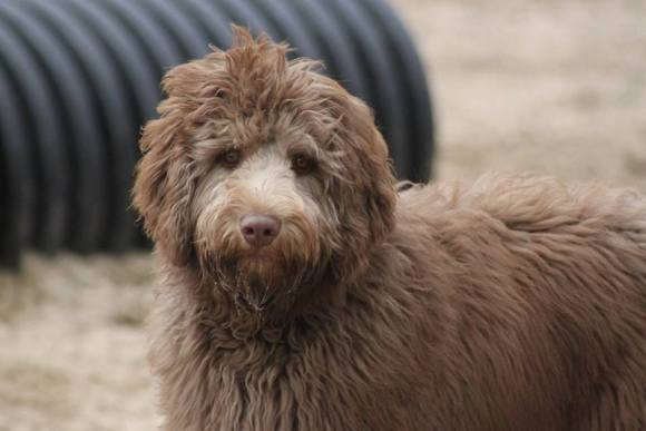 Finley - Standard Chocolate Aussiedoodle Male - Dreamydoodles