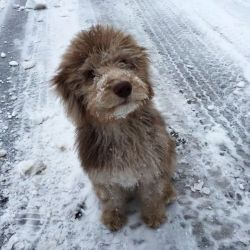 aussiedoodle puppy wally 1