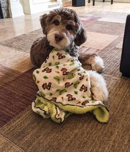 TUUKA THE AUSSIEDOODLE WITH HIS DREAMYDOODLE BLANKET