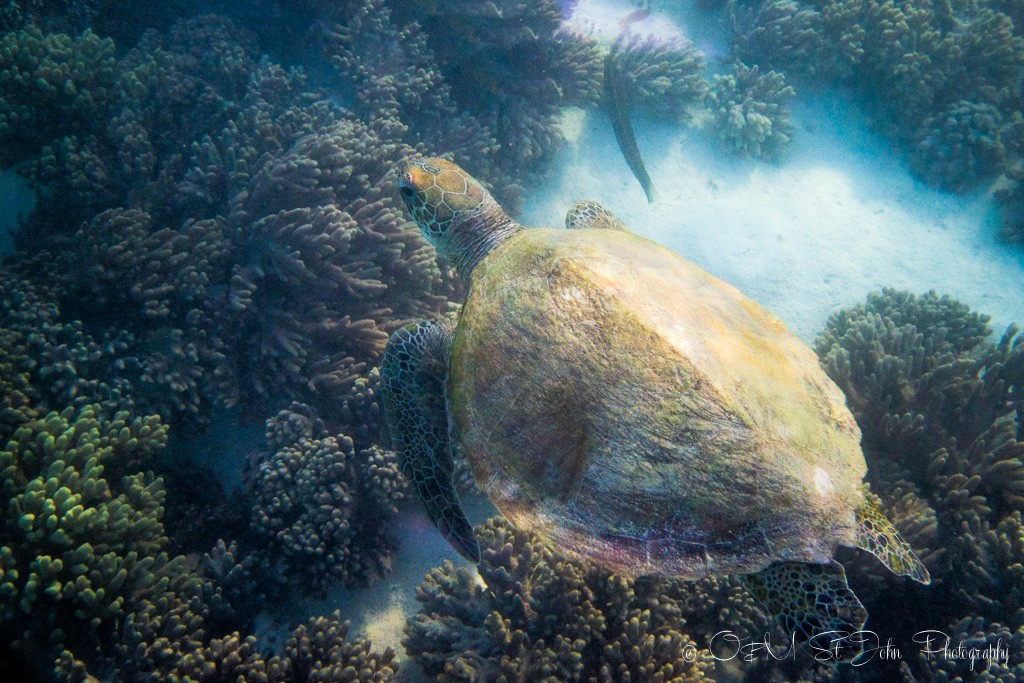 Spotted: a turtle swimming along the drift snorkel in Turquoise Bay. Cape Range National Park. Western Australia