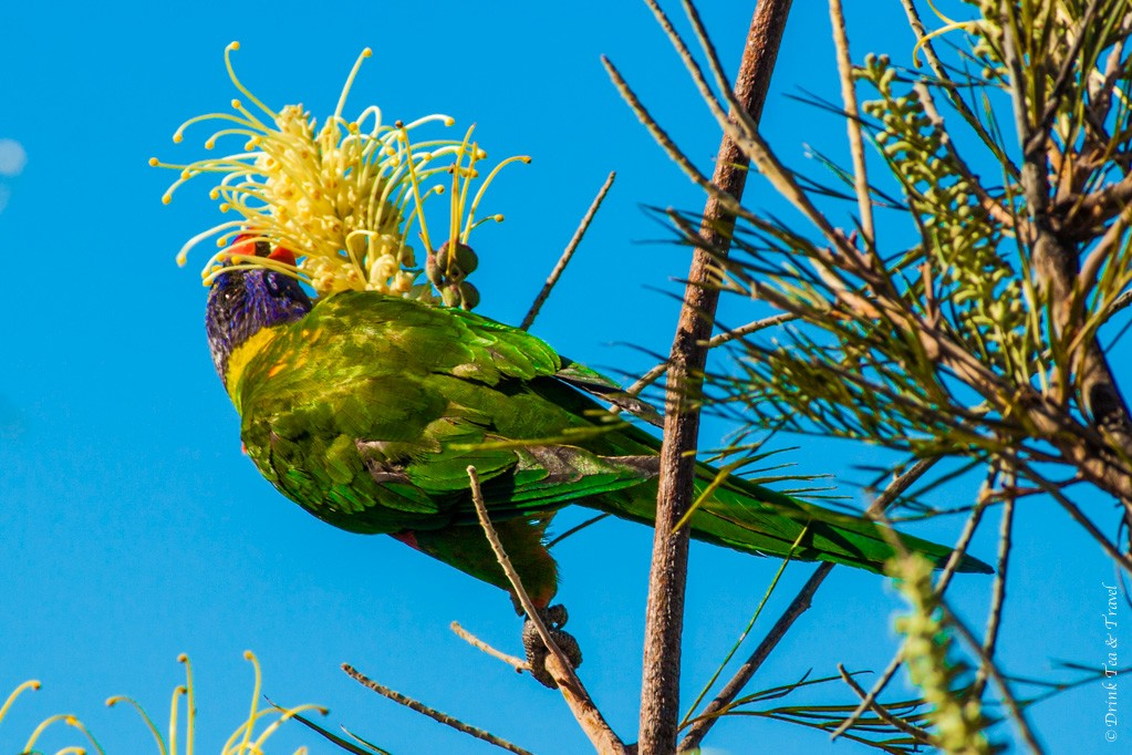 Australian rainbow lorikeet hanging out on a tree right in front of my patio