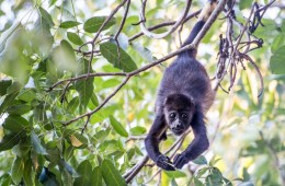 Costa Rican Animals: Mantled Howler Monkey