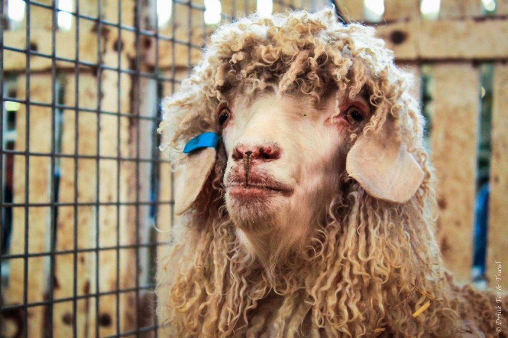 Pygora Goat... or maybe Angora.. either way, he's quite handsome