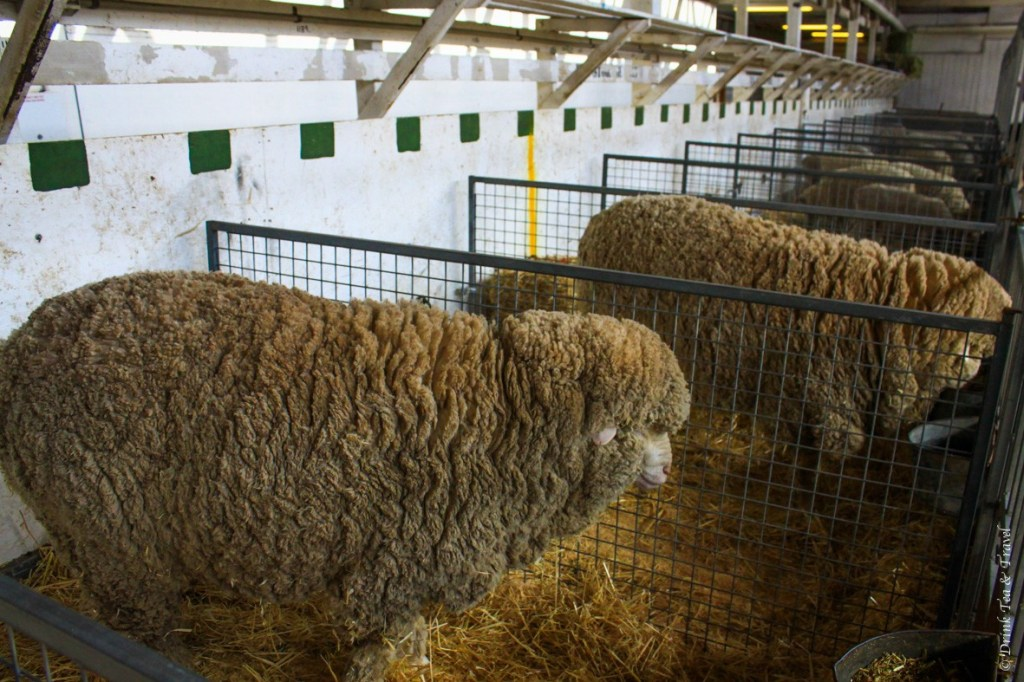 Rows and rows of sheep, waiting for their turn to be showcased