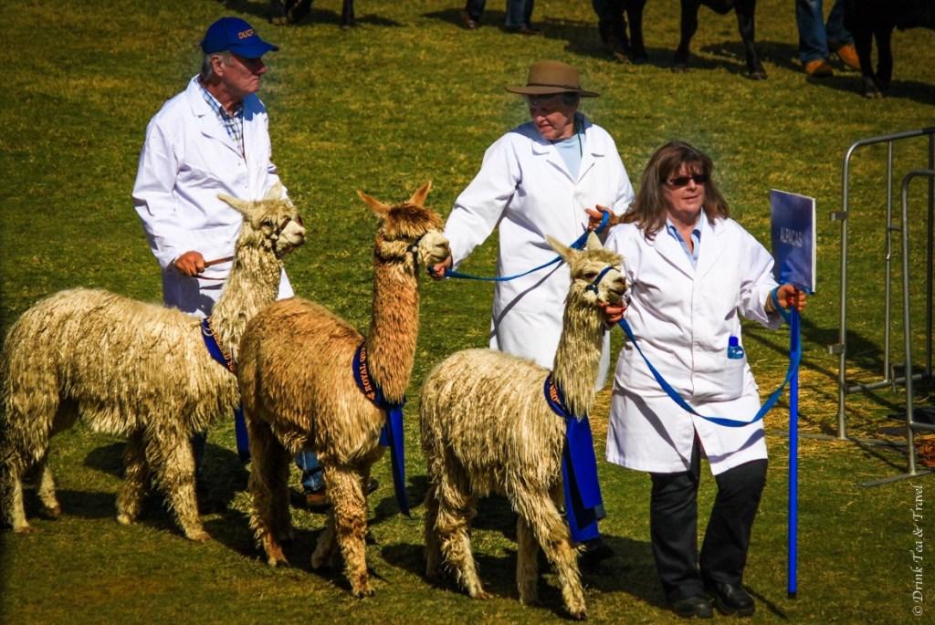 Award winning lamas at Royal Queensland Show