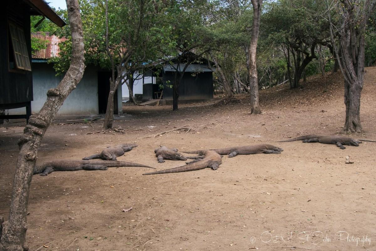 Komodo dragons on Rinca Island. Komodo National Park