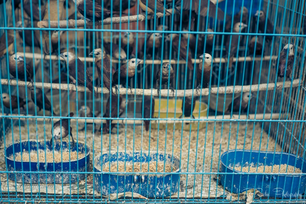 Birds in cages at the Malang Bird Market, East Java, Indonesia