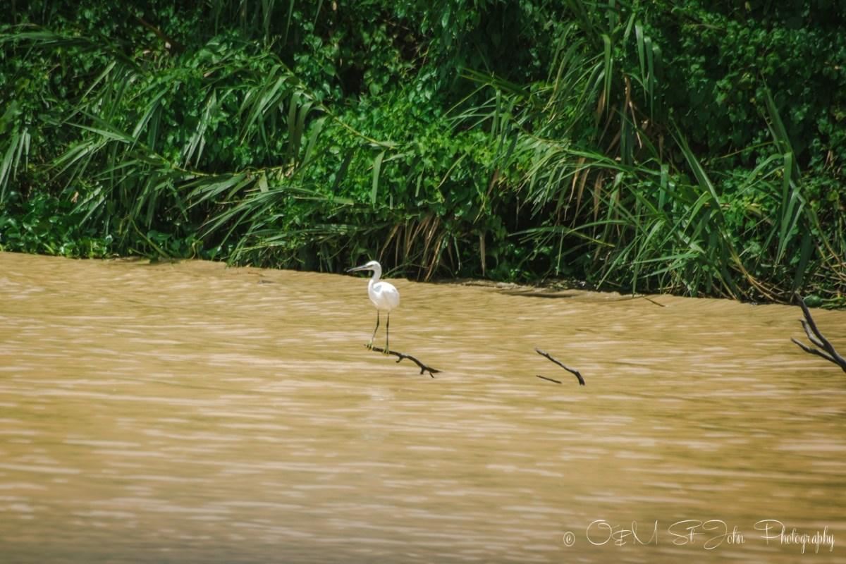 Egret on the Kinabatangan River. Sabah. Malaysian Borneo