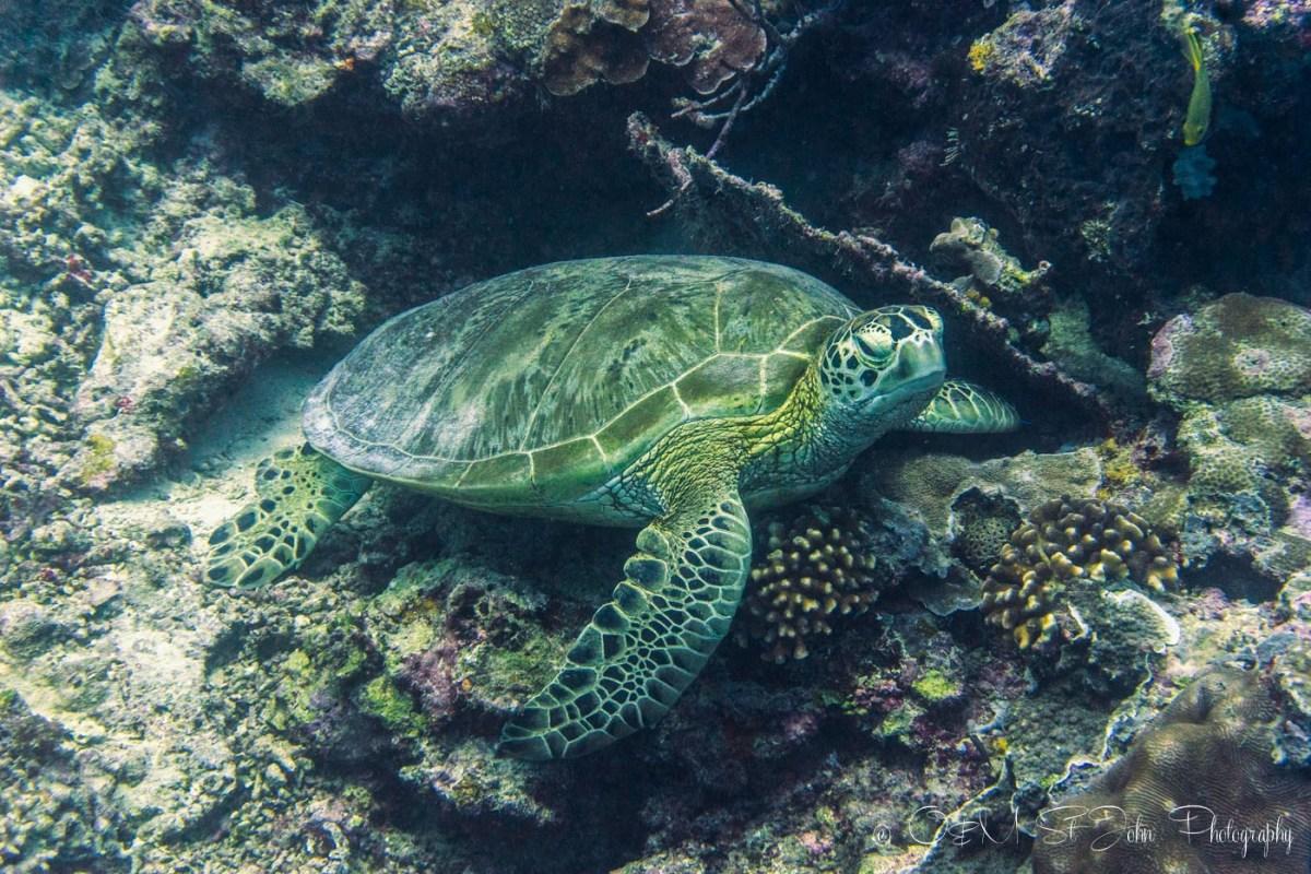 One of the many green turtles at Sipadan. Diving in Sipadan. Sabah. Malaysia