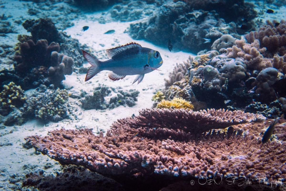 Soft coral formations at Sipadan Island, diving. Sabah, Malaysia. Borneo