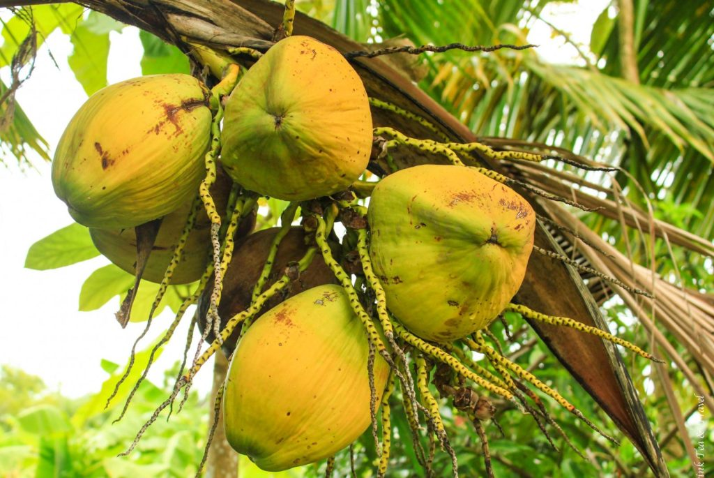 Coconuts growing at the Thai Farm Cooking School, Chiang Mai, Thailand