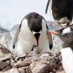 Gentoo and it chick