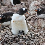Gentoo and Chicks