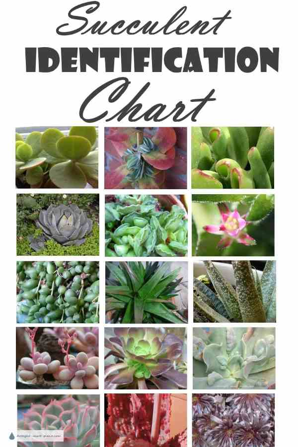 Succulent Identification Chart - find your unknown plant here