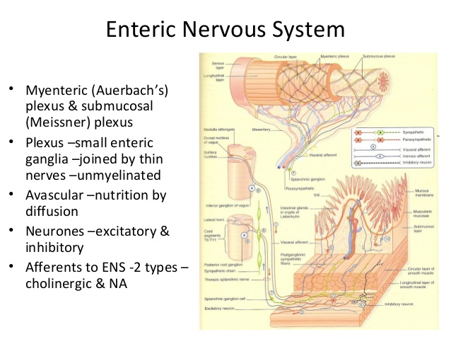 Enteric nervous-system-33-638