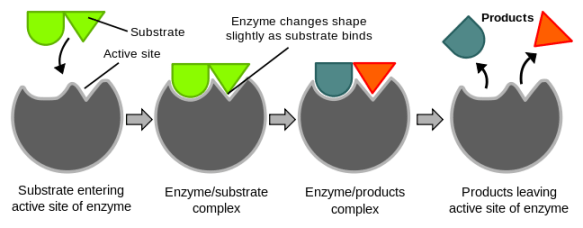 Biology For Kids Enzymes