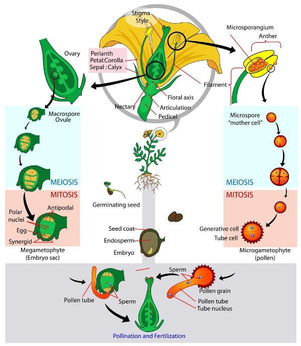Biology for Kids Flowering Plants
