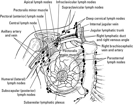 How Blood and Lymph Flow Through the Shoulder - dummies