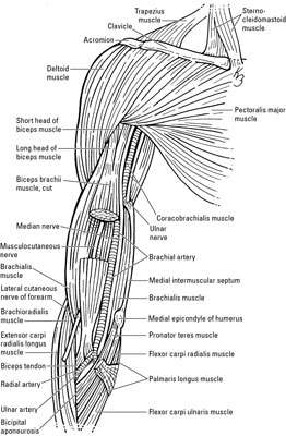diagram of veins in your arm auto electrical wiring diagramnerves and veins in the elbow and forearm